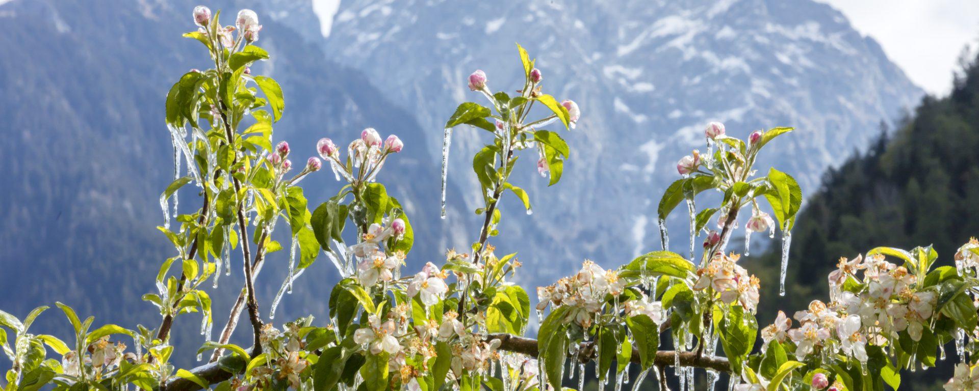 Suedtirol, Labers, oberhalb von Meran, Grumser-Hof, Frühling, Paar,Blüte, Apfelblüte, Apfelhof, Morgens, Frost, Frostberegnung,