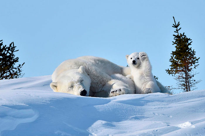 waving-polar-bear-photoshop-battle-2